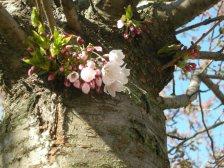 Only a very few sakura flowers